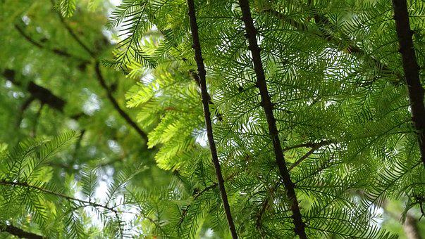 Pine, Leaf, Foliage, Tree, Branch, Green, Nature