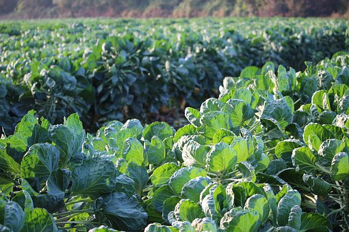 Brussels Sprouts, Green, Field, Vegetables, Leaves