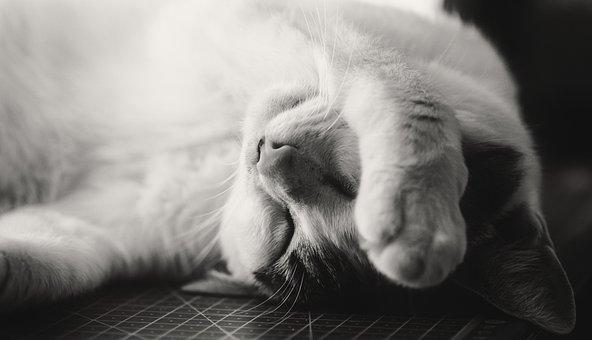 Cat, Sleepy, Exhausted, Tired, Pet, Animal, Cute, Head