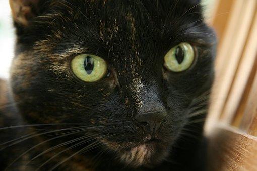 Cat, Domestic Cat, Tortoise Shell, Cat's Eyes, Eyes