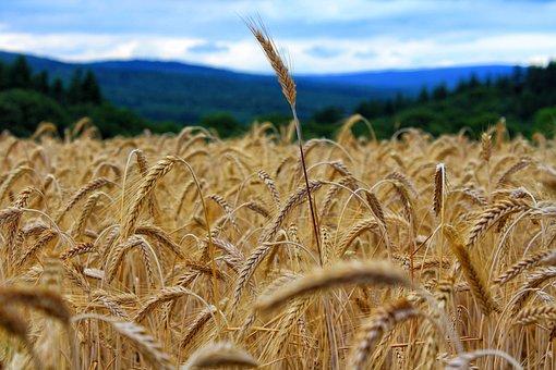 Landscape, Cereals, Nature, Field, Summer, Agriculture