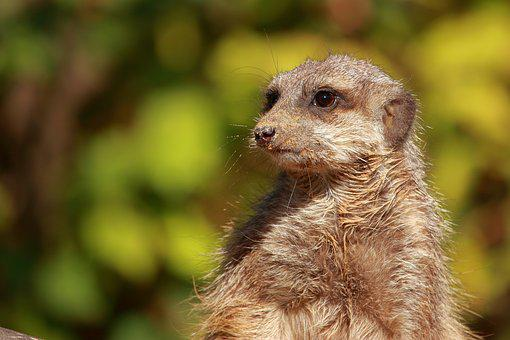 Meerkat, Animal, Zoo, Nature, Animal World, Cute, Watch