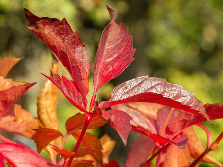 Leaves, Autumn Mood, Emerge, Climber Plant, Bright