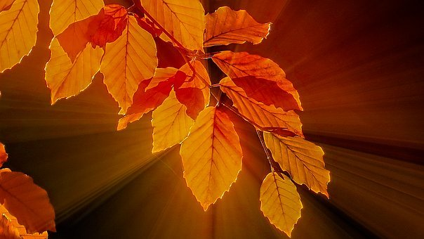 Fall Foliage, Beech Leaves, Bright, Golden Yellow