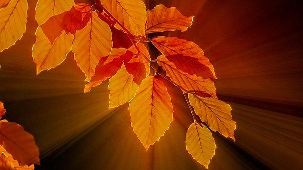Fall Foliage, Beech Leaves, Bright, Golden Yellow