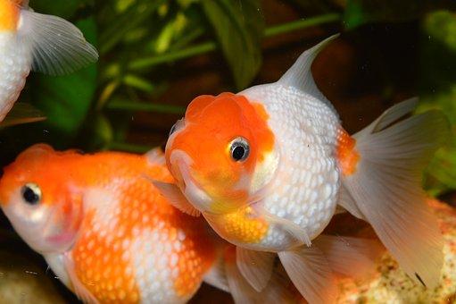 Goldfish, Flakes Of Pearl, Red Fish, Aquarium
