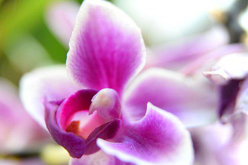 Orchid, Macro, Flower, Close-up, Room Flower