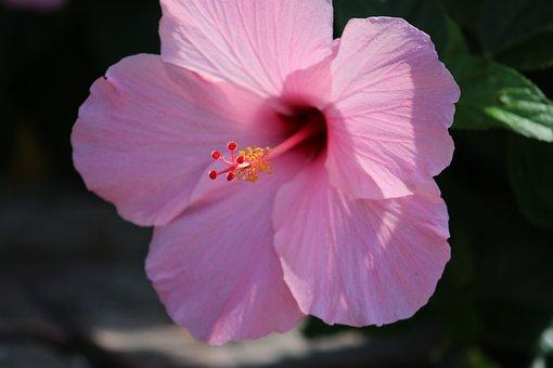 Hibiscus, Flower, Bloom, Flora, Summer, Petals