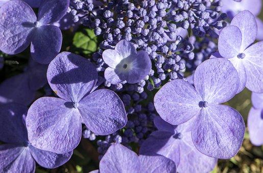 Hydrangea, Flowers, Summer, Garden, Purple
