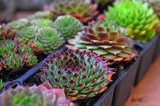 Stonecrop, Autumn, Fall Flowers, Flowers, Flower