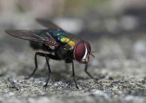Fly, Flies, Insect, Nature, Freedom, Flight, Animal