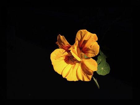 Nasturtium, Flower, Bloom, Edible, Garden, Orange