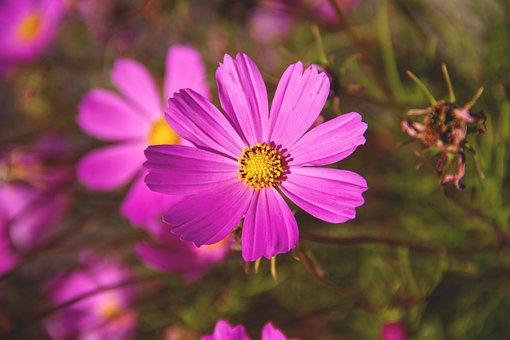 Cosmea, Flower, Cosmos, Garden, Nature, Plant, Flora