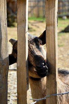 Goat, Animal, Mammal, Horns, Domestic Goat, Farm, Kid
