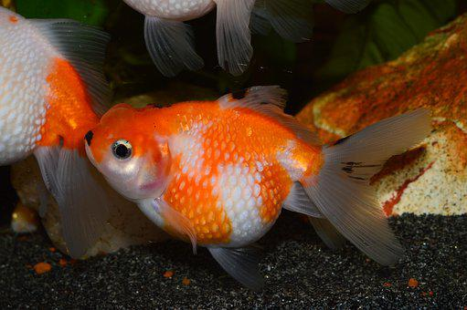 Goldfish, Flakes Of Pearl, Pearl, Red Fish