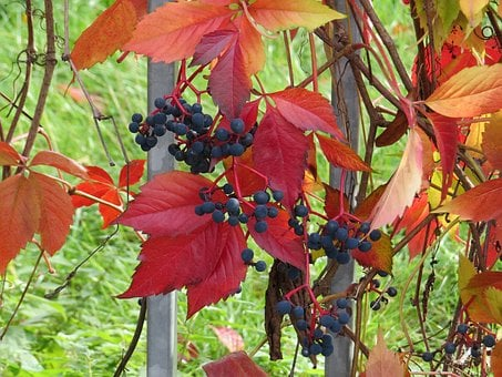 Grapevine, Blue Grapes, Winegrowing, Red Leaves, Nature
