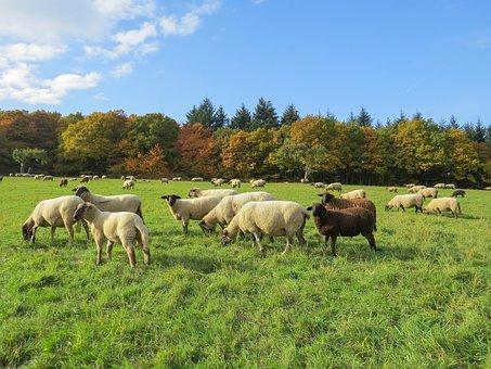 Autumn Landscape, Flock Of Sheep, Schäfchen, Herbivores