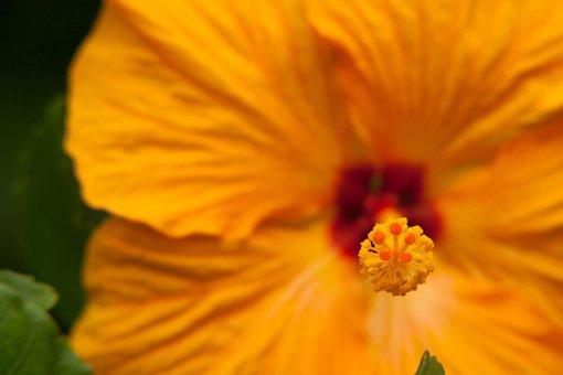 Hibiscus, Tropical, Flowers, Flower, Pestle, Hawaiian