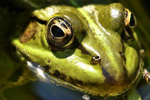 Frog Pond, Nature, Pond, Green, Amphibian, High, Anuran