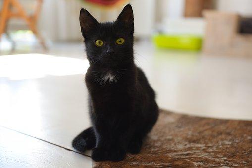 Black, Cat, Pet, Animal, Kitten, Fur, Portrait