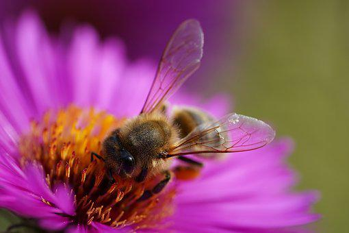 Bee, Macro, Nature, Insect, Pollen, Flower, Flora, Bees