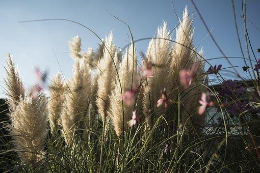 Selloana, Nature, Mood, Garden, Morgenstimmung