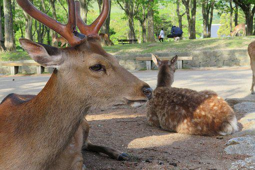 Deer, Nara Park, Nara, Wild Animals, Japan, Mammal