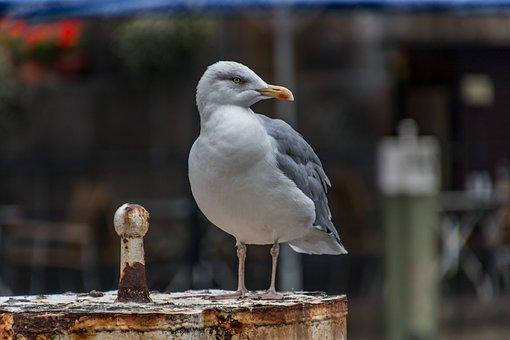 Seagull, Hamburg, Animal, Port, Bird, Nature, Elbe