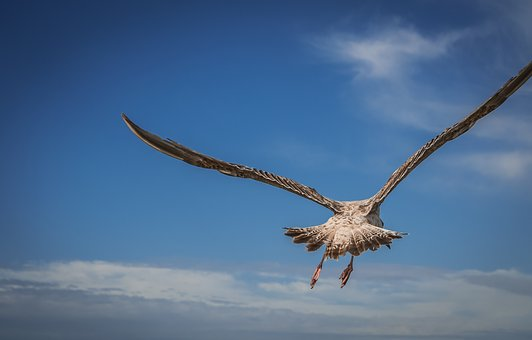 Bird, Seagull, Flying, Animal, Wing, Nature, Sky