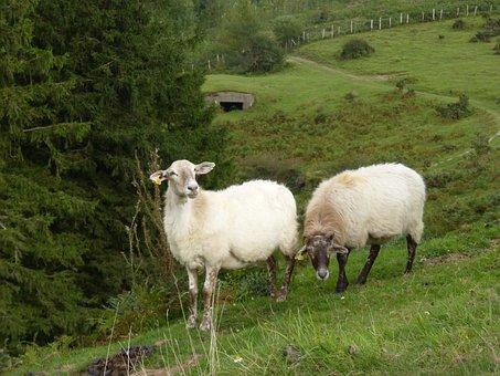 Sheep, Pacer, Pasture, Prado, Pyrenees, Navarre