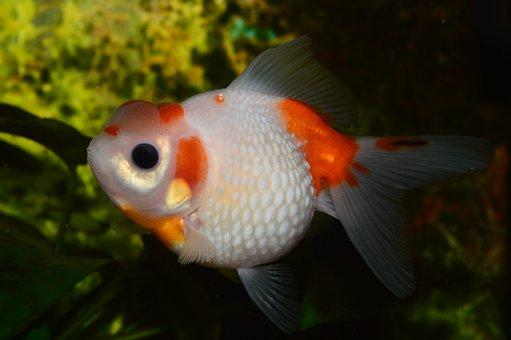 Goldfish, Pearl, Flakes Of Pearl, Red Fish, Aquarium