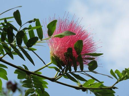 Pink, Flower, Silk, Albizia, Pink Siris, Mimosa, Bloom