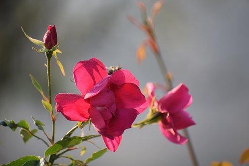 Rose, Flowers, Nature, Blossom, Plant, Bloom, Garden