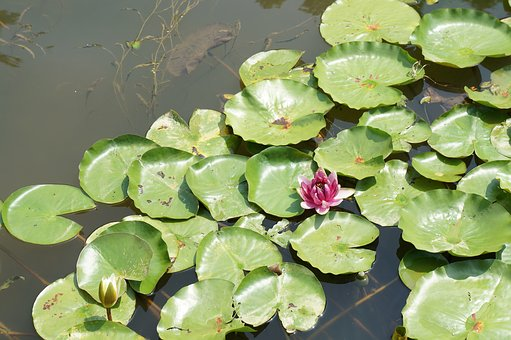Pond, Lotus, Nature, Green