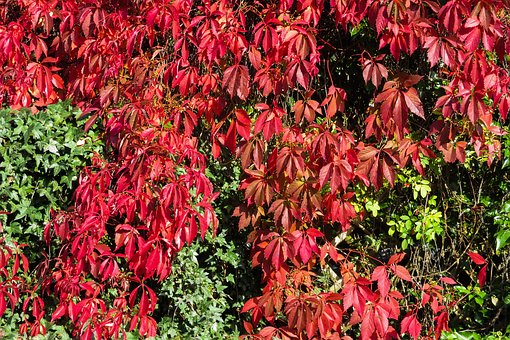 Wine Partner, Red Leaves, Fall Leaves, Climber Plant
