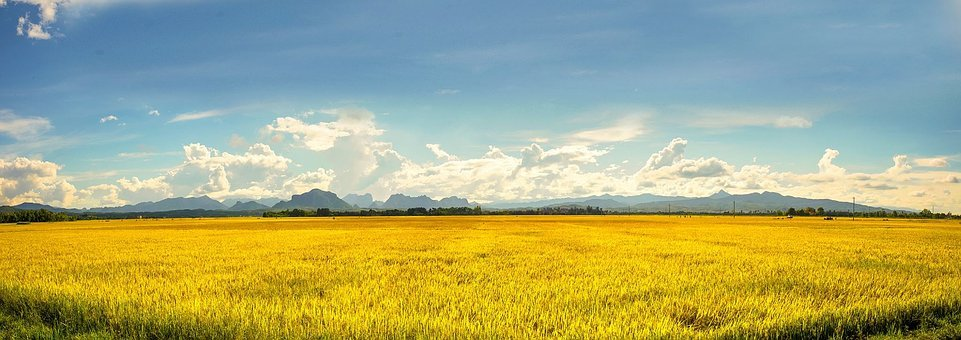 Vietnam, Agriculture, Farm, Rice Field, Gold Rice Field