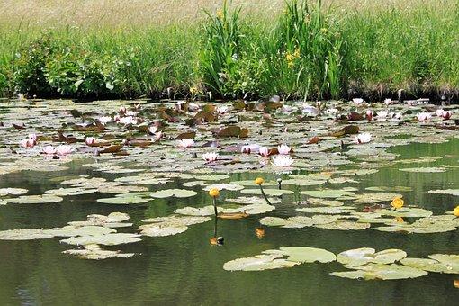 Water Lilies, Park Wörlitz, Germany, Saxony-anhalt