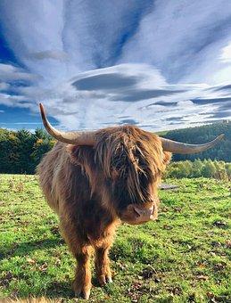 Highland Beef, Scotland, Animal, Pasture, Agriculture