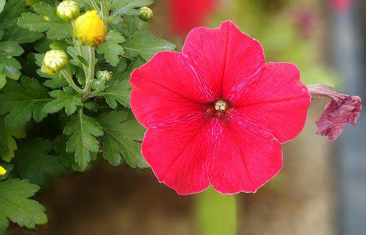 Petunia, Red Flower, Beautiful, Happy, Sejong City