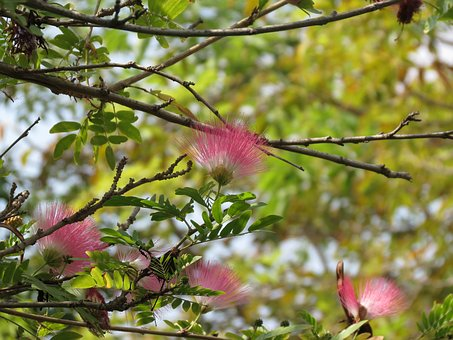 Albizia, Pink Siris, Tree, Flower, Pink, Silk, Branch