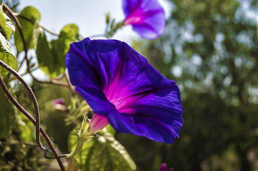 Morning Glory, Bells, Bluebells, Purple, Violet