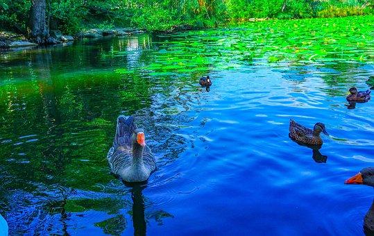 Geese, Ducks, The Lake Of Segrino, Pond, Waterlilies