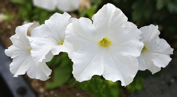 Petunia, Page Century, White Flower, White Flowers