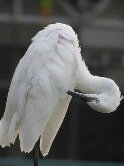 White Heron, Bird, Feathers, Flexibility, Park, Wing