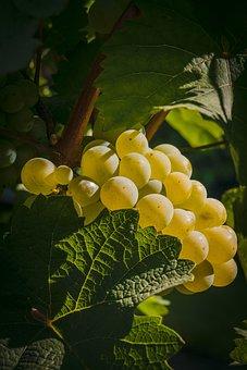 Grape, Fruit, Grapes, Winegrowing, Grapevine, Wine