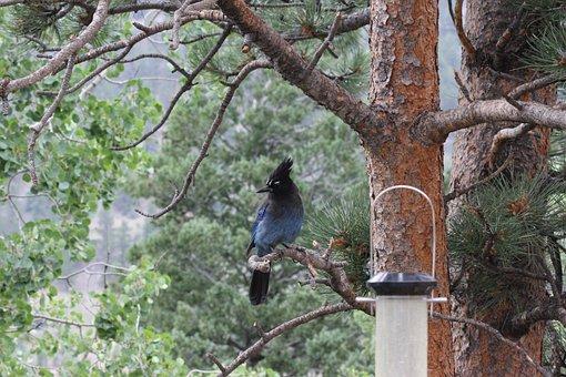 Stellar Jay, Cute, Cute Bird, Animal, Colorado, Woods