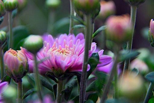 Chrysanthemum, Yellow Flower, Purple Rizantém, Autumn