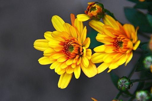 Krizantén, Yellow Flower, Yellow Rizantém, Autumn