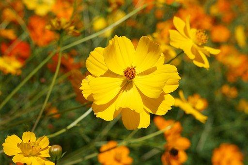 Flower, Flowers, Cosmos, Sulfide Cosmos, Nature, Yellow