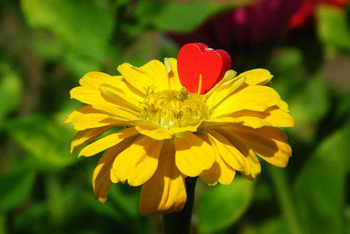 Flower, Zinnia, Yellow, Beauty, Garden, Blooming